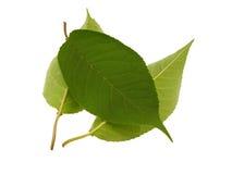 piękna zieleń opuszczać niektóre Obrazy Stock