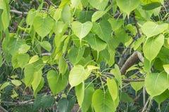 Piękna zieleń opuszcza Bodhi drzewa zdjęcie stock
