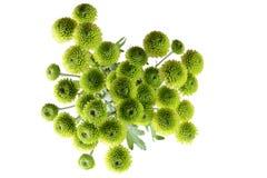 Piękna zielona chryzantema Powraca zdjęcia stock