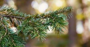 Piękna zielona conifer gałąź kiwa w wiatrze zbiory