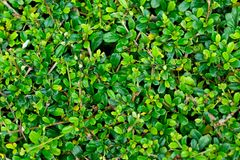 Piękna zielona liść ściana dla tła Zdjęcia Royalty Free