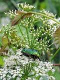 Piękna zielona olśniewająca pluskwa na białej roślinie, Lithuania zdjęcie stock