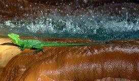 Piękna zielonej jaszczurki iguana pod siklawą Zdjęcie Stock