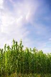 Piękna zielonej kukurudzy łąka Fotografia Stock