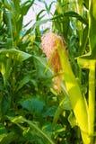 Piękna zielonej kukurudzy łąka Zdjęcia Stock
