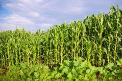 Piękna zielonej kukurudzy łąka Obrazy Royalty Free