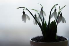 Piękne śnieżyczki w białym garnku na stole w kuchni fotografia stock