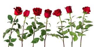 Piękne żywe czerwone róże na długich trzonach z zielonymi liśćmi układali pozycję w jeden rzędzie pojedynczy białe tło Zdjęcia Stock