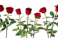 Piękne żywe czerwone róże na długich trzonach z zielonymi liśćmi układali w bezszwowym rzędzie pojedynczy białe tło Obraz Royalty Free
