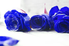 Piękne błękitne róże Zdjęcia Stock