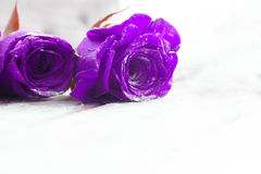 Piękne błękitne róże Obraz Stock