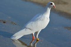piękne białe gołębie Obrazy Royalty Free