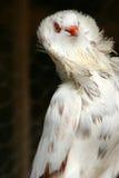 piękne białe gołębie Zdjęcie Royalty Free