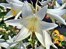 Piękne białe leluje z wodnymi kroplami po deszczu Fotografia Stock