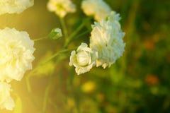 Piękne białe róże w ogródzie Fotografia Royalty Free