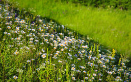 Piękne białe stokrotki na zielonym skłonie blisko rzeki Obrazy Royalty Free
