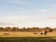 Piękne brown i czarne krowy na zieleni ziemi wypasają łasowanie Obrazy Royalty Free