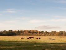 Piękne brown i czarne krowy na zieleni ziemi wypasają łasowanie Obraz Stock