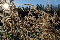 Piękne brown traw słoma w jesieni świetle słonecznym Fotografia Royalty Free
