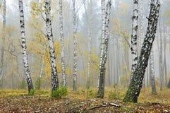 Piękne brzozy w jesień lesie Zdjęcia Stock