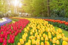 piękne bukietów tulipanów tulipany kolor Tulipany w wiośnie Fotografia Royalty Free