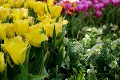 piękne bukietów tulipanów tulipany kolor tulipany w wiośnie, colourful tulipanu ogród Obrazy Stock