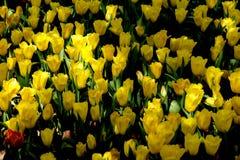 piękne bukietów tulipanów tulipany kolor tulipany w wiośnie, colourful tulipanu ogród Zdjęcie Royalty Free