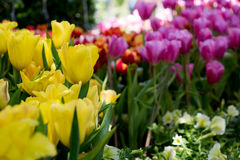 piękne bukietów tulipanów tulipany kolor tulipany w wiośnie, colourful tulipanu ogród Obrazy Royalty Free