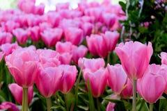 piękne bukietów tulipanów tulipany kolor tulipany w wiośnie, colourful tulipanu ogród Fotografia Royalty Free