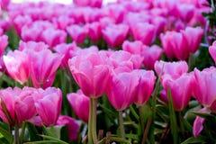 piękne bukietów tulipanów tulipany kolor tulipany w wiośnie, colourful tulipanu ogród Zdjęcia Royalty Free