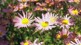 Piękne chryzantemy r w ogródzie zbiory