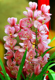 Piękne cymbidium orchidee zdjęcia stock