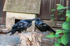 Piękne czarne wrony siedzą na fiszorku Obrazy Royalty Free