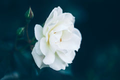 Piękne czarodziejskie marzycielskie magiczne białe beżowe śmietankowe róże kwitną na zatartym rozmytym zielonym błękitnym tle Fotografia Stock