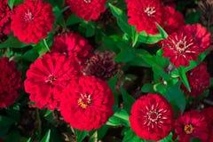 Piękne czerwone cynie kwitną w ogródzie w kontek?cie niebieskie chmury odpowiadaj? trawy zielone niebo bia?e wispy natury poj?cia obraz royalty free
