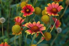 Piękne czerwone gerbera stokrotki w lecie uprawiają ogródek Zdjęcie Royalty Free