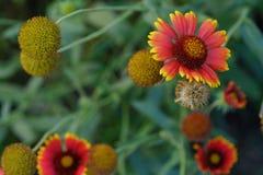 Piękne czerwone gerbera stokrotki w lecie uprawiają ogródek Zdjęcie Stock