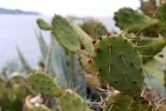 Piękne czerwone kaktusowe owoc dołączać kaktus Obraz Stock