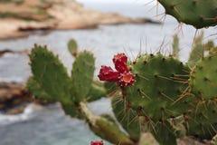 Piękne czerwone kaktusowe owoc dołączać kaktus Obraz Royalty Free