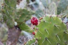 Piękne czerwone kaktusowe owoc dołączać kaktus Zdjęcie Royalty Free