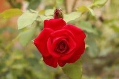 Piękne czerwone róże dla twój dnia Fotografia Royalty Free