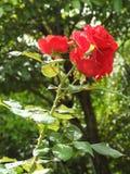 Piękne czerwone róże kwitnie w ogródzie na słonecznym dniu, obraz royalty free
