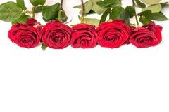 Piękne czerwone róże odizolowywać na białym tle Zdjęcie Stock