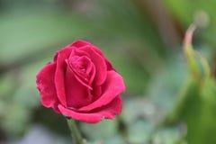 Piękne czerwone róże w ogródzie Obraz Stock