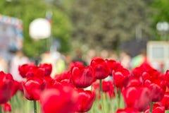piękne czerwone tulipanów Zdjęcie Royalty Free
