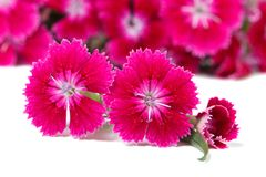 Piękne Dianthus barbatus kwiatów intensywnie menchie odizolowywać Zdjęcie Stock