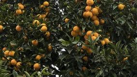 Piękne dojrzałe pomarańcze r na pomarańczowego drzewa śniadanio-lunch zdjęcie stock
