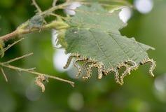 Piękne gąsienicy Obraz Stock
