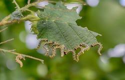 Piękne gąsienicy Fotografia Royalty Free