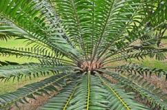 Piękne gałąź i liście cycad w ogródzie Zdjęcie Royalty Free
